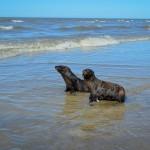 Reincorporación de dos lobos marinos A. Australis